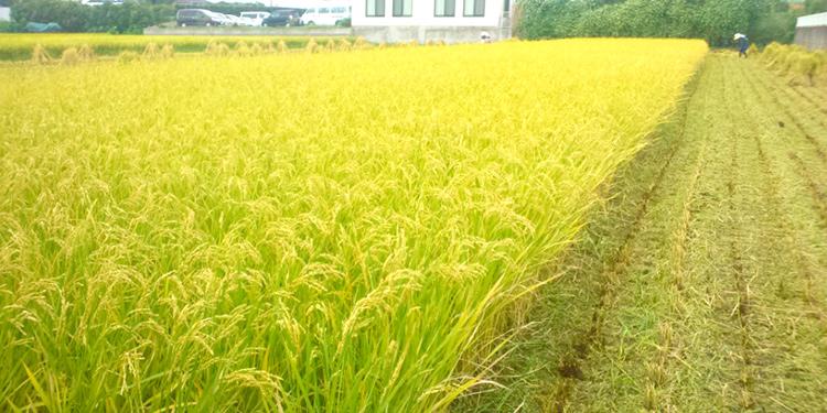 やまがた園では 静岡産コシヒカリ も 作っています。