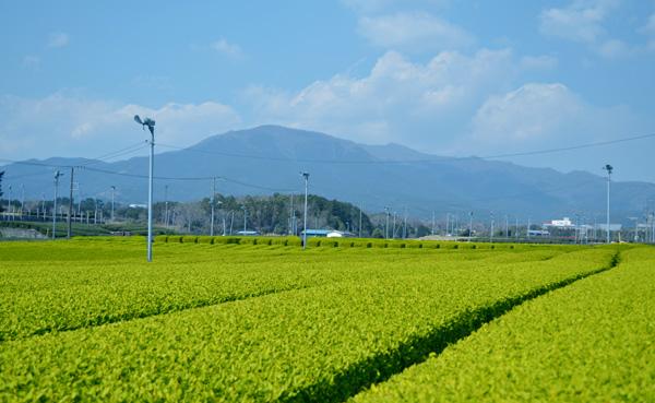 愛鷹山茶畑