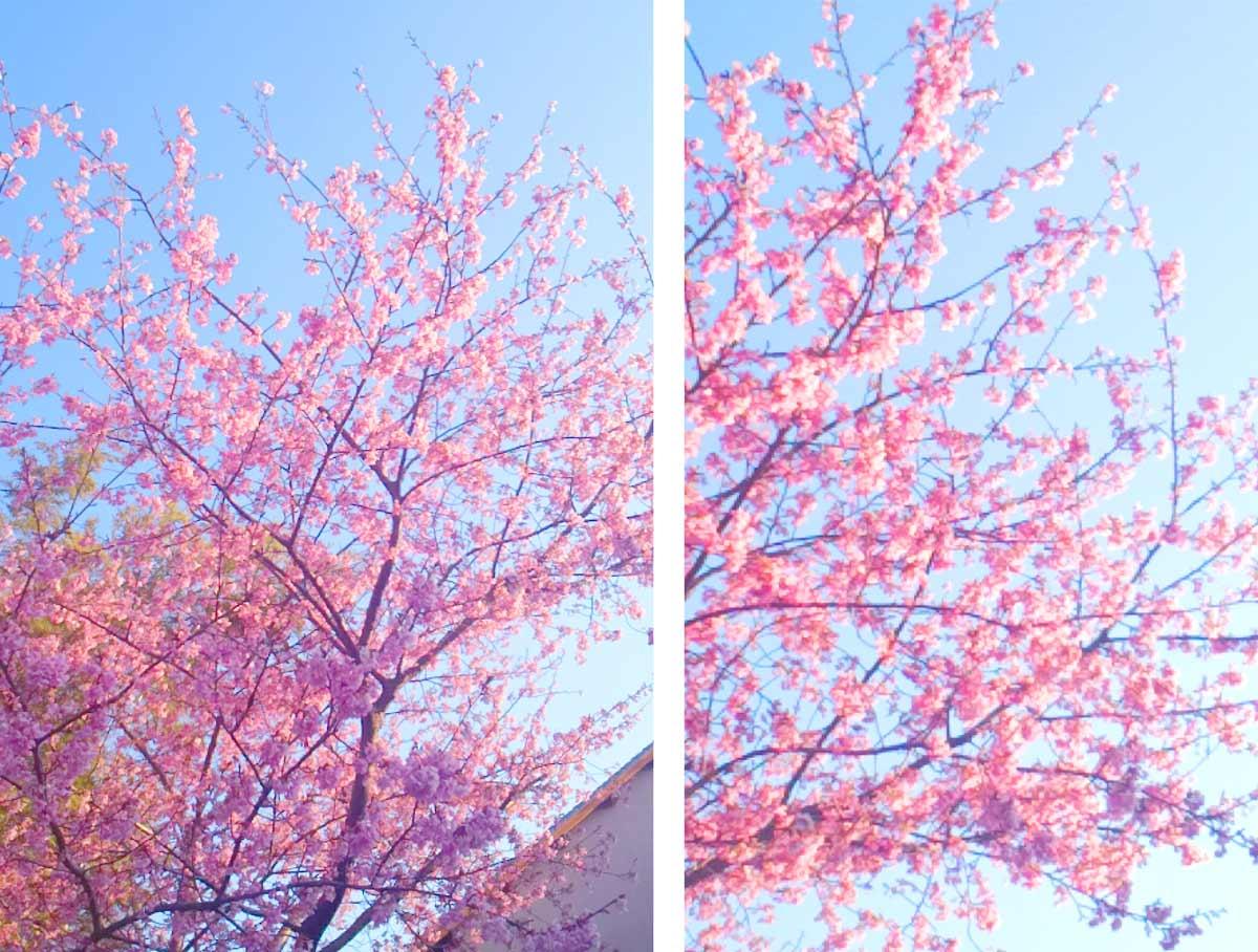 やまがた園では、園内の河津桜に合わせて、一足早く新茶予約を開始いたしました! お早めのご予約を!