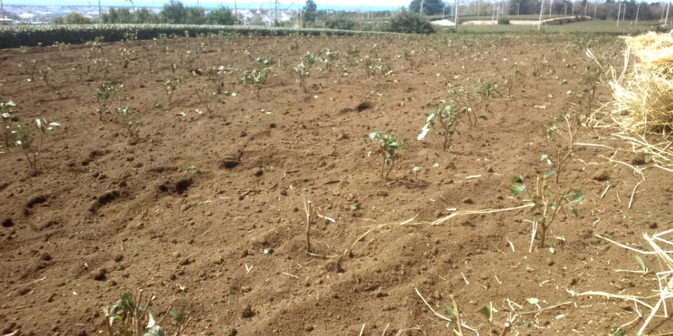 植えてから 収穫まで 約4年間  はやく  大きく  なぁ~れっ!